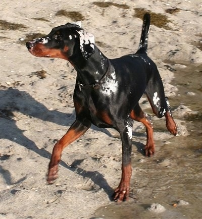 Gaya the black and tan Doberman Pinscher is standing on a beach near a bunch of water with sand all over its body.