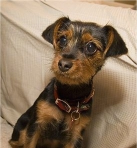 Lucy, the Dorkie (Dach/Yorkie Mix) puppy