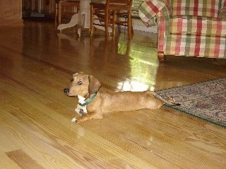 Oscar the Doxle Puppy is laying on a hardwood floor. One front paw is against his body and the other paw is extended out. There is a red, green and white plaid couch and a table and chairs behind him