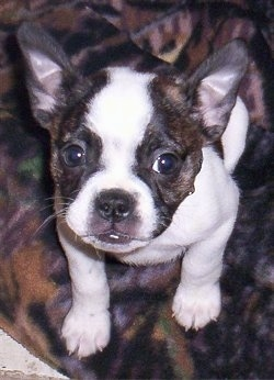 Close Up - Henley the brown brindle and white English Boston-Bulldog puppy is sitting on a blanket and looking up