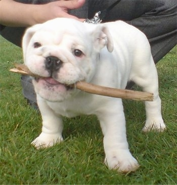 A white English Bulldog puppy is standing on grass with a stick in its mouth. There is a person behind it.