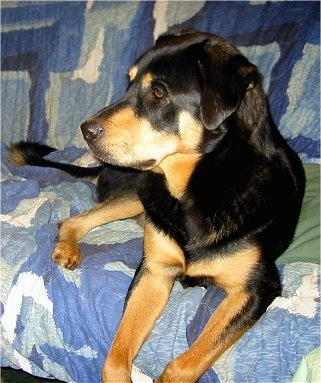 Abby the black and tan English Mastweiler is laying on a couch covered with a blue and white blanket. She is looking to the left