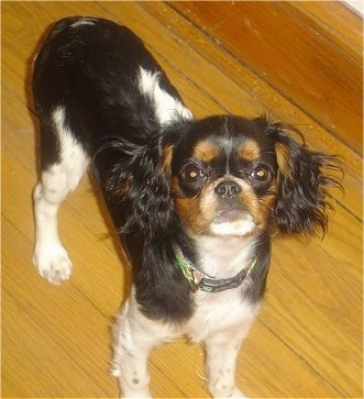 Lola the black, tan and white tricolored English Toy Spaniel Puppy is standing on a hardwood floor and looking up