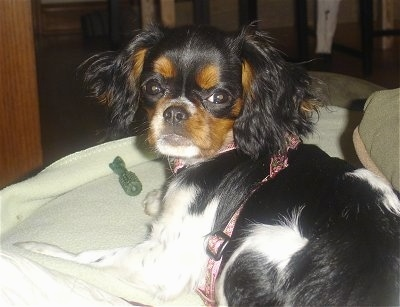 English Toy Spaniel Dog Breed Information And Pictures
