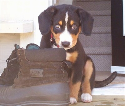 Shasta the black, tan and white Entlebucher puppy is sitting in front of a door next to a pair of brown boots.