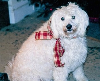 Casey the wavy white Eskapoo is sitting on a carpet and is wearing a red plaid ribbon