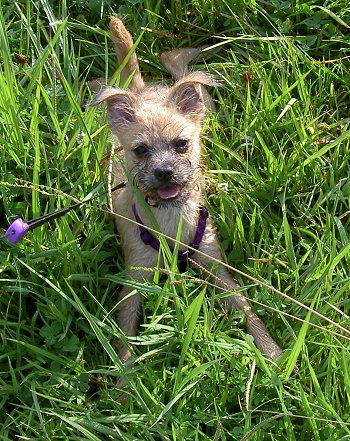 Emma the wiry looknig tan with black Eskifon as a puppy is laying outside in grass. Her tongue is out