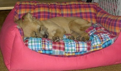 Emma the tan Eskifon as a puppy is sleeping in a pink plaid dog bed