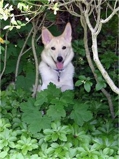 Sasha the Eskland is sitting in green leaves in a wooded area.