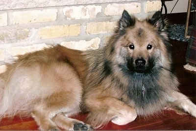 Gus the longhaired tan, cream and black Eurasier is laying on a hardwood floor in front of a tan brick wall