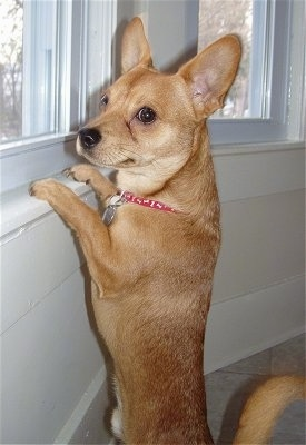 A bat-eared, short-haired tan with white Mountain Feist Dog is jumped up at a white window sill looking out of the window. The dog has short legs.