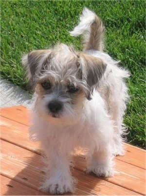 Fudge, the Fo-Tzu puppy 4 months old (Shih-Tzu / Toy Fox Terrier mix)