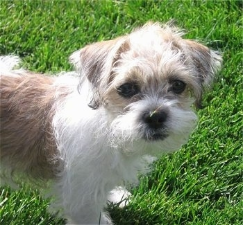 Close Up - A tan and white Fo-Tzu puppy is standing in grass.