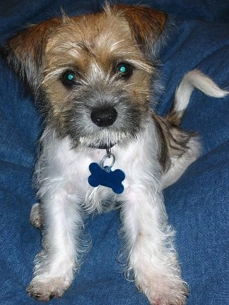 Tucker, the Fo-Tzu puppy at 3½ months old (Shih-Tzu / Toy Fox Terrier mix)