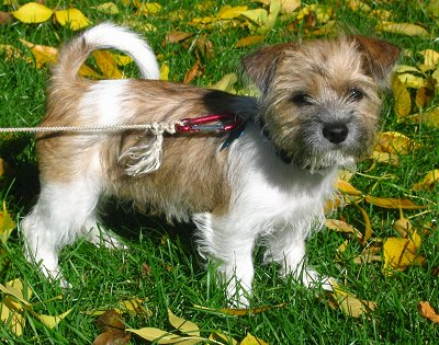 A tan and white with black Fo-Tzu puppy is standing in grass and there are yellow leaves around it