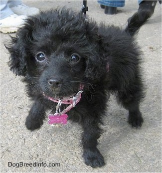 A black wavy-coated Foodle puppy is standing on a concrete surface looking up