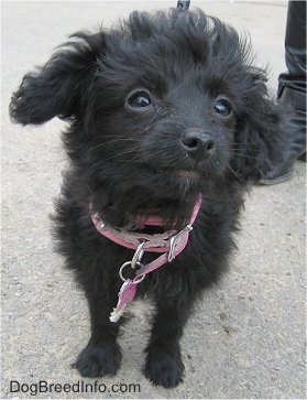 A black wavy-coated Foodle puppy is standing on a concrete surface looking up and to the right