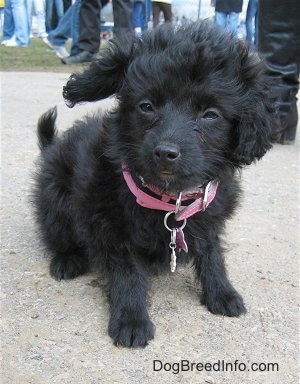 A black, wavy-coated Foodle puppy is wearing a pink collar and sitting on a concrete surface looking to the left