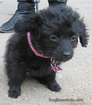 A black, wavy-coated Foodle puppy is sitting on a concrete surface looking down and to the right