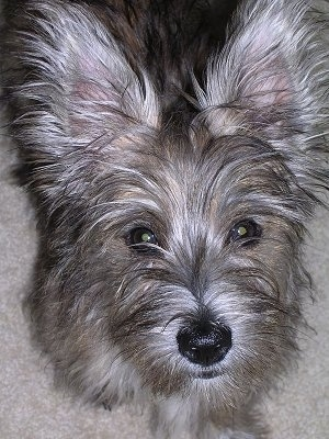 Close Up - A tan with white Fourche Terrier is standing on a carpet and looking up