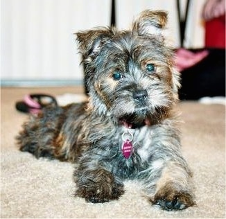 Maggie Puddin, the Fourche Terrier (Westie / Yorkie hybrid) at 12 weeks old
