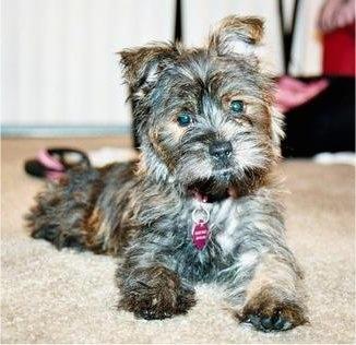 Fourche Terrier Dog Br...