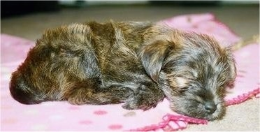 Close Up - A black and tan brindle Fourche Terrier puppy is sleeping on a pink blanket