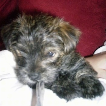 Maggie Puddin, the Fourche Terrier (Westie / Yorkie hybrid) at 7 weeks old