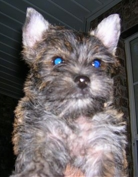 Close Up - A tan and black Fourche Terrier puppy is being held in the air