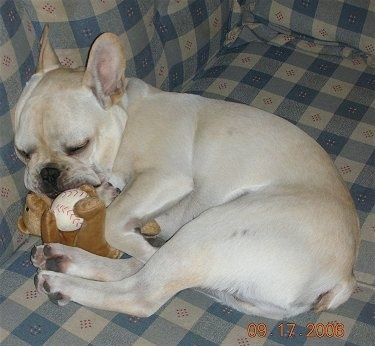 A cream French Bulldog is laying on its side on a plaid blue and tan couch with a brown bear plush toy next to it