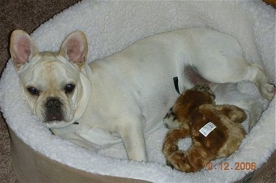 A cream French Bulldog is laying in a white and tan dog bed with a brown toy in front of it