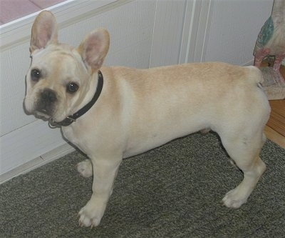 A cream French Bulldog is standing on a dark green rug in front of a white door.