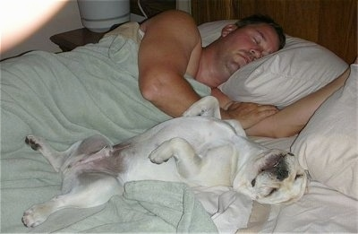 A cream French Bulldog is sleeping on its back belly up on a bed next to a sleeping man