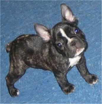 A black brindle and white French Bulldog puppy is looking up and standing on a blue tiled floor