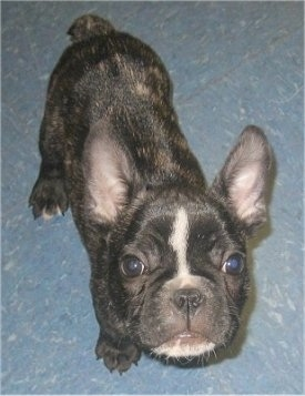 A black brindle and white French Bulldog puppy is standing on a blue tiled floor looking up