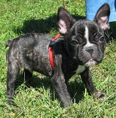 A black brindle and white French Bulldog puppy is standing outside in a field next to a person wearing jeans