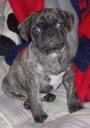 Keagan, the Frenchie Pug at 8 months old. His mom was a Pug, his dad a French Bulldog