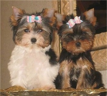 Yorkshire Terrier Puppies on Puppies    Biewer Yorkie And A Yorkie   Photo Courtesy Of Kennel  My