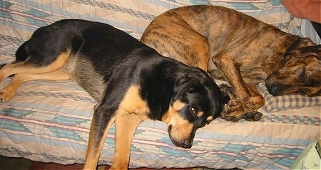 A black and tan English Mastweiler and a brown brindle Great Dane/Golden Retriever mix are laying on their sides on top of a human's bed