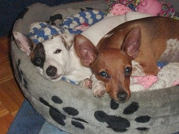 A white with black and brown Mini Fox Terrier puppy is laying on a gray dog bed that has black paw prints on it next to a brown with white Toy Fox Pinscher puppy.