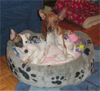 A brown with white Toy Fox Pinscher puppy is standing over top of a white with black and brown Mini Fox Terrier puppy that is laying in a gray with black paw printed dog bed