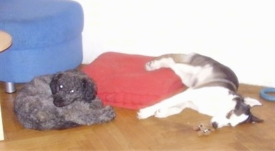 A grey Puli is laying curled up in front of a red pillow on a hardwood floor with a Siberian Husky sleeping next to it with a toy in front of it. There is a blue ottoman behind them.