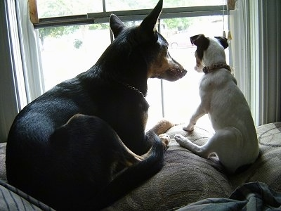 A black with tan Manchester Terrier is laying next to a white with black and brown Rat-Cha puppy on the back of a couch and looking out of a window