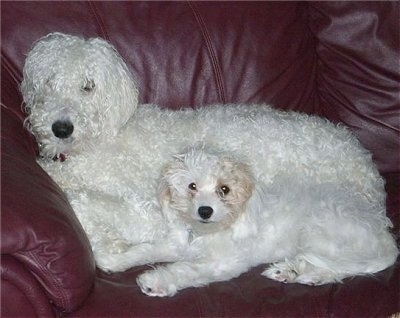 Two dogs on a maroon leather couch - A larger white Whoodle dog laying behind a smaller white with tan Cavapoo dog.
