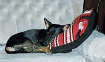 a black and tan German Pinscher is laying on a silver couch on a red, white and black pillow
