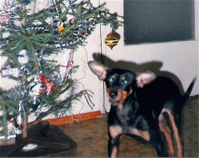 A black and tan German Pinscher is laying next to a Christmas tree with a door behind it. The dog's large ears are sticking out to the sides.
