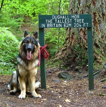 A black and tan German Shepherd is sitting next to a large tree and a green sign. The sign reads - DUGHALL MOT THE TALLEST TREE IN BRITAIN 62M. 204FT.