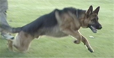 Action shot - A black and tan German Shepherd is running through a field wit its front end up in the air.