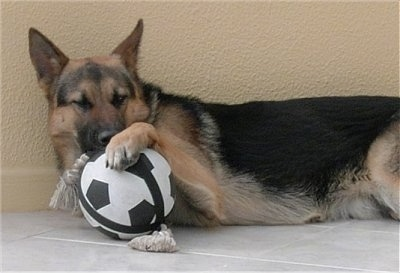 A black and tan German Shepherd is laying on its side against a yellow wall on a white tiled floor with on paw up on top of a toy soccer ball and a rope toy that are in front of it
