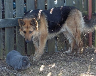 A black and tan German Shepherd is standing against a wooden fence looking down at a grey rabbit that is in front of the dog.